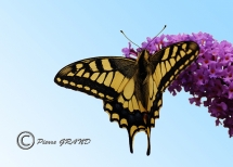 Machaon_6